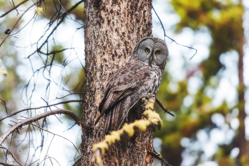 Owl in Banff National Park, Canada