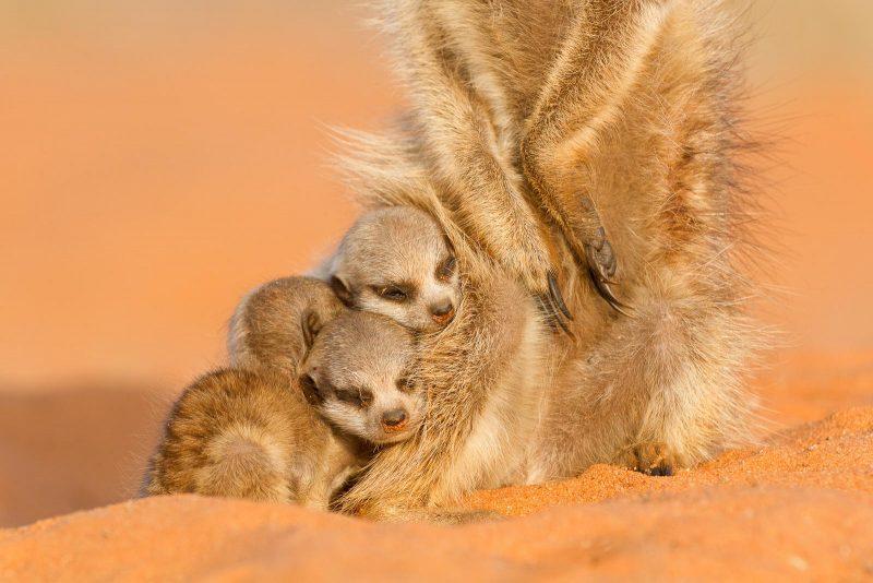 Baby meerkats cuddling against an adult