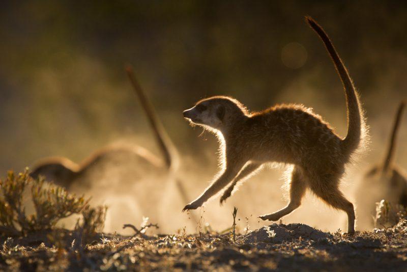 Group of meerkats running in the dessert