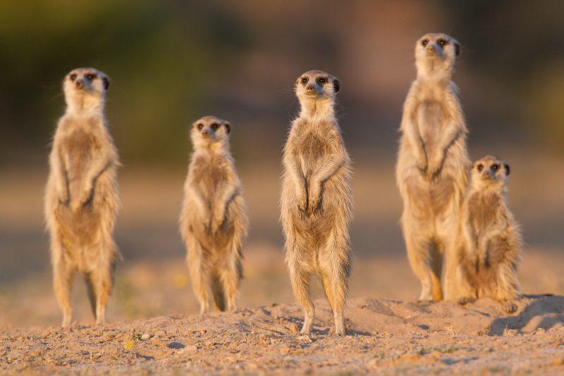 Meerkat family sun bathing