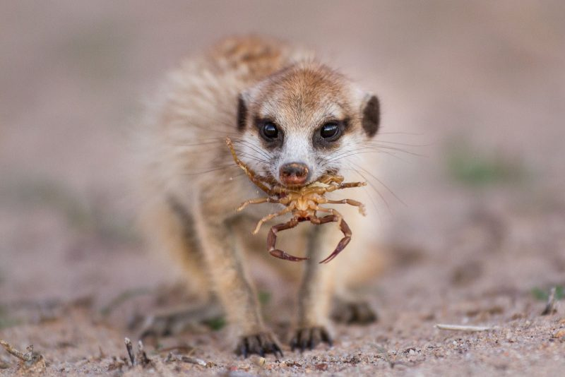 Meerkat with scorpion in mouth