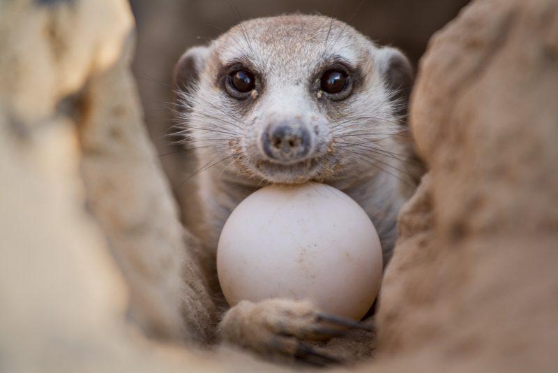 Meerkat holding an egg