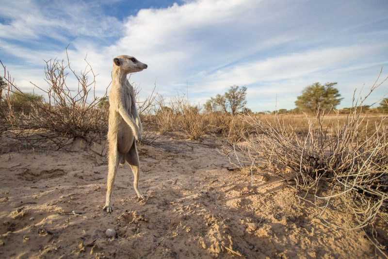 Wide angle photo of a meerkat standing gaurd