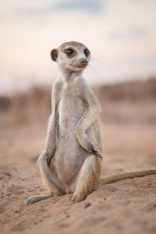 how to photograph meerkats