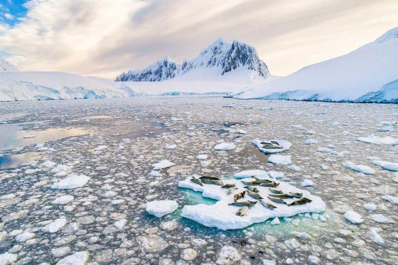 crabeater seals on ice
