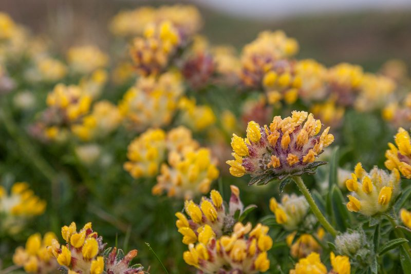Yellow kidney vetch flowers