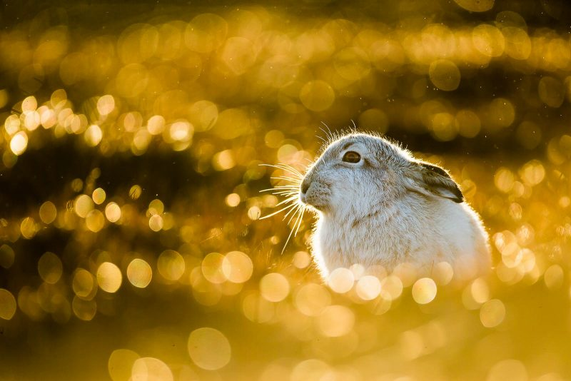 bokeh with mountain hare