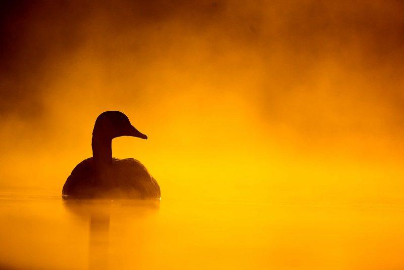 Backlit canada goose