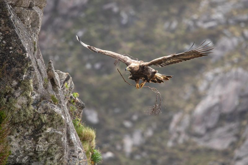 Golden eagle with nest material