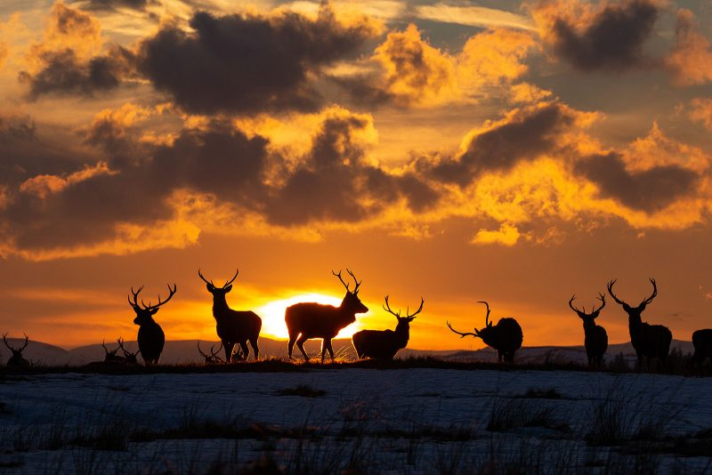 Stag silhouettes