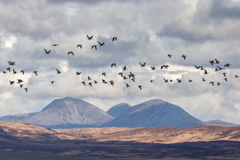 Geese landscape
