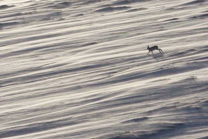 Mountain hare running through snow