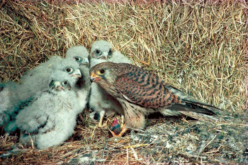 Kestrel and chicks in nest