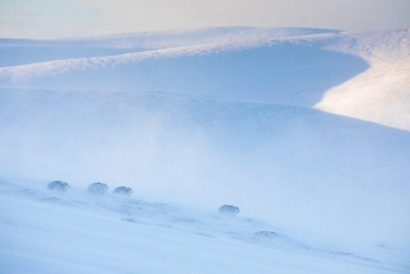 Mountain hare in snowy landscape