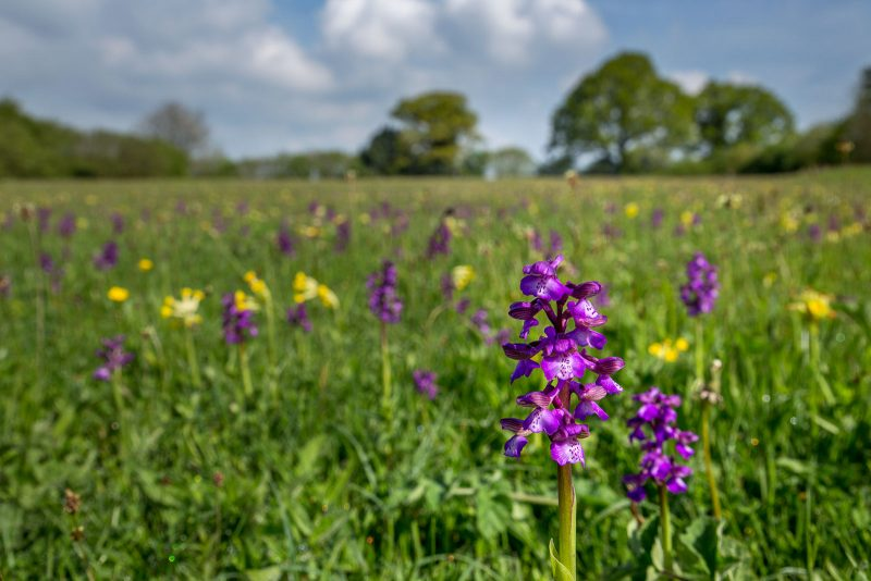 Green-winged Orchids flower