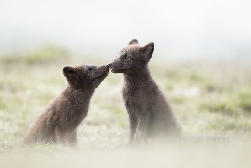 Pair of Arctic Foxes