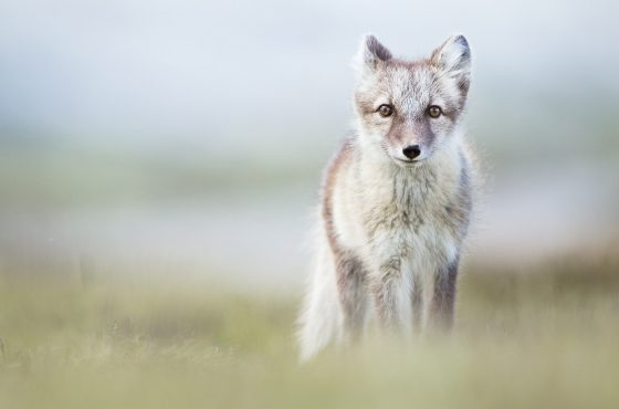 how-to-photograph-arctic-foxes-5