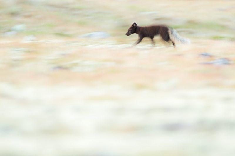 Slow shutterspeed arctic fox