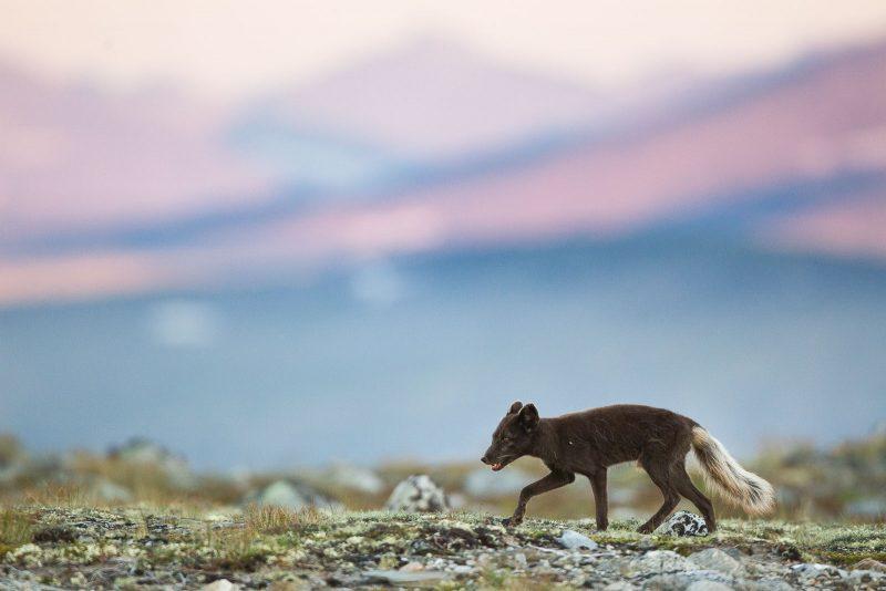 Arctic Fox in summer fur