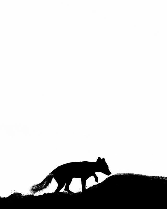 Silhouette of an arctic fox