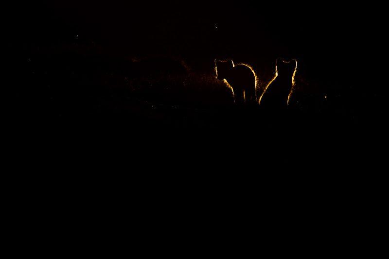 Backlit shot of Arctic Foxes