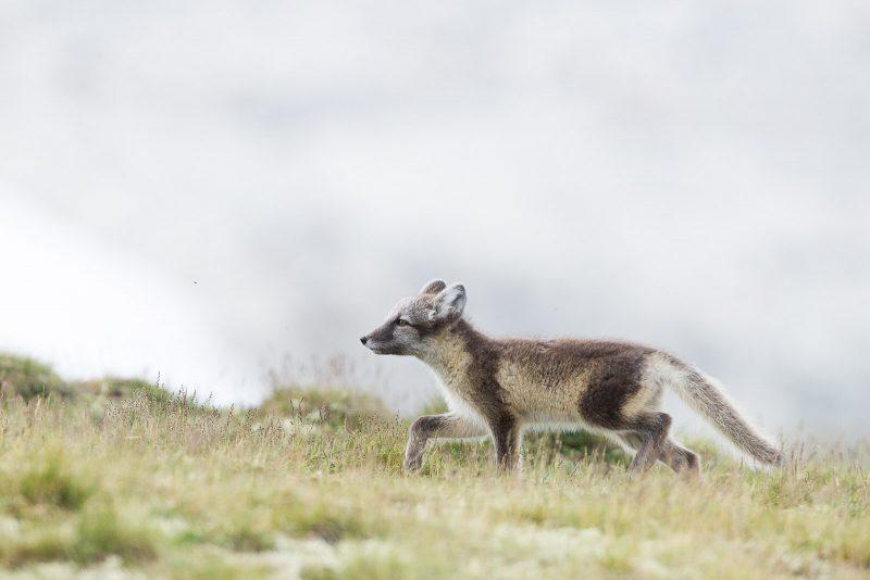Arctic Fox walking