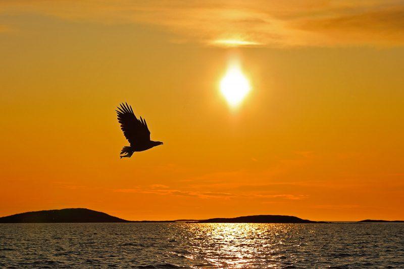white tailed sea eagle silhouette against sunset
