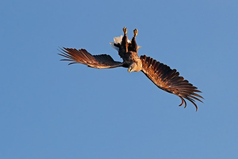 Diving white tailed sea eagle
