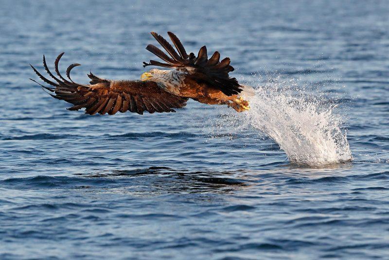 Fishing white tailed sea eagle