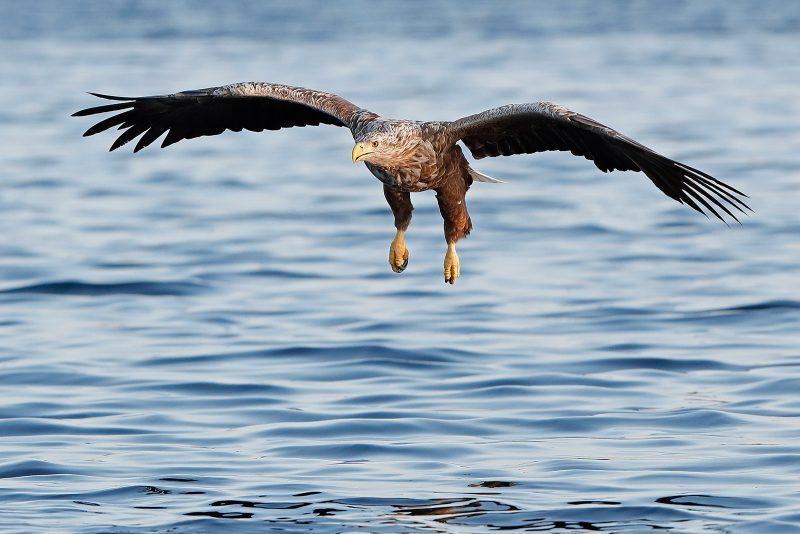 white tailed sea eagle above sea