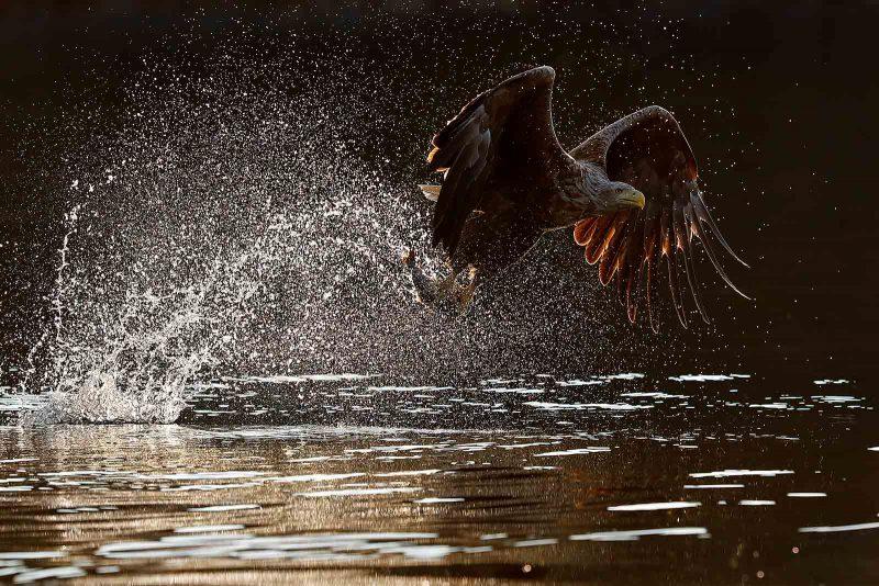 Backlit white tailed sea eagle