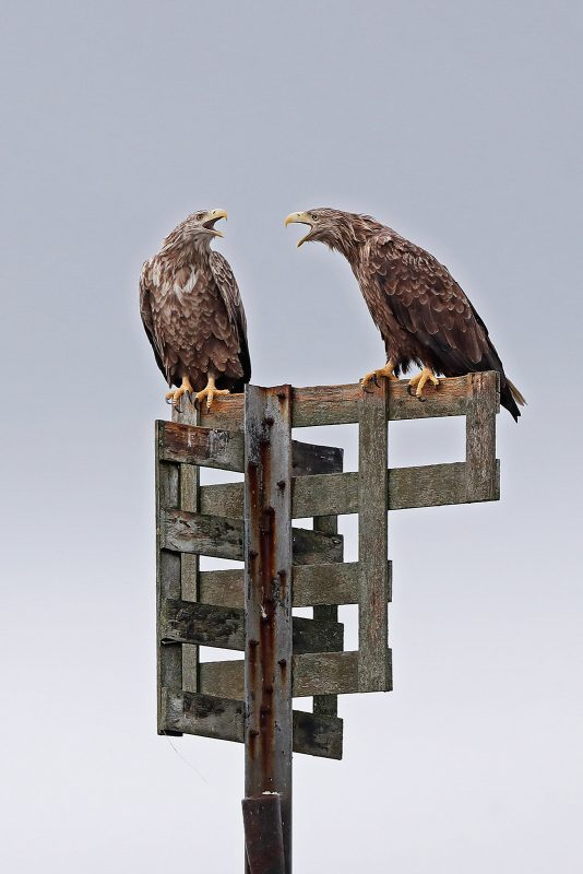 Pair of white tailed sea eagles