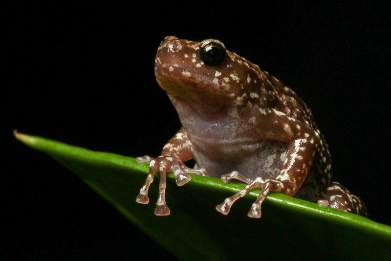 Termite Nest Frog