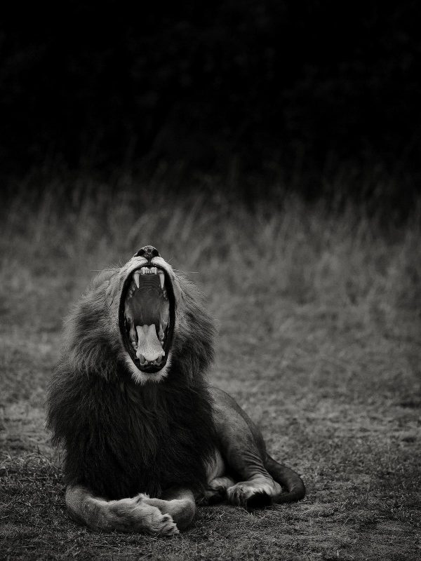 Lion yawning black and white