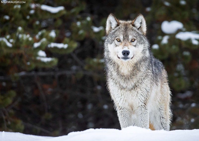 wolf usa wildlife