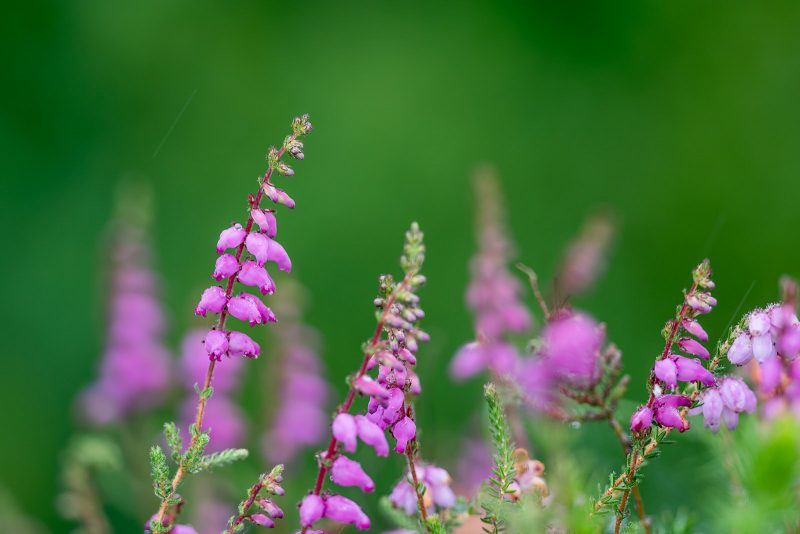 Dorset Heath Erica ciliaris Flowers Cornwall; UK