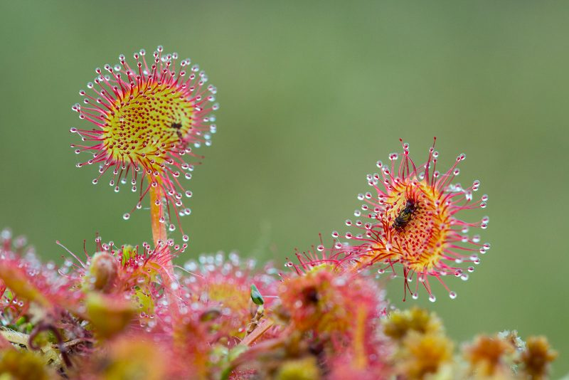 Round Leaved Sundew - with Trapped Insect