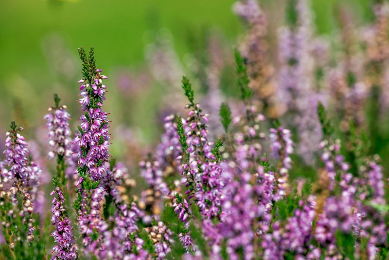 Heather; Calluna vulgaris