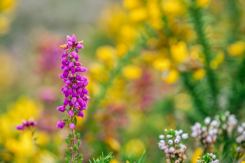 bell heather; Erica cinerea; amongst gorse; cornwall
