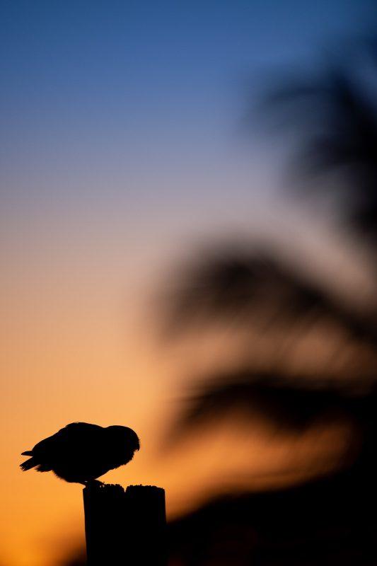 Florida burrowing owl below