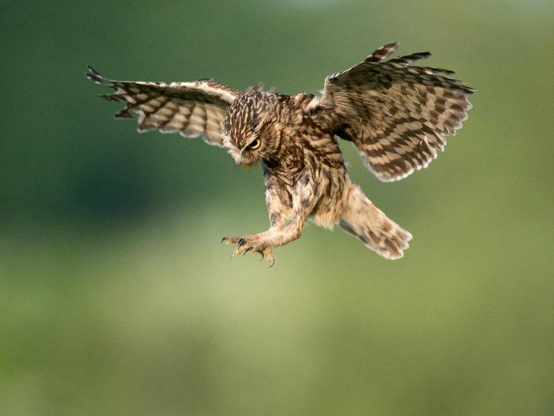 Little owl flying