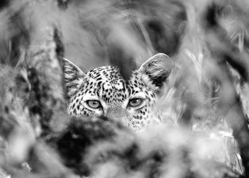 Leopard eyes black and white