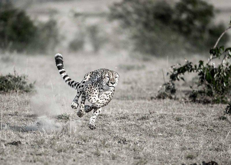 Cheetah full sprint