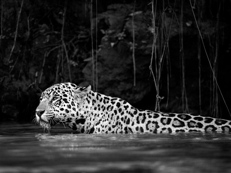 Leopard in water black and white