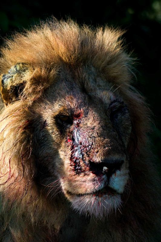 Scarred lion