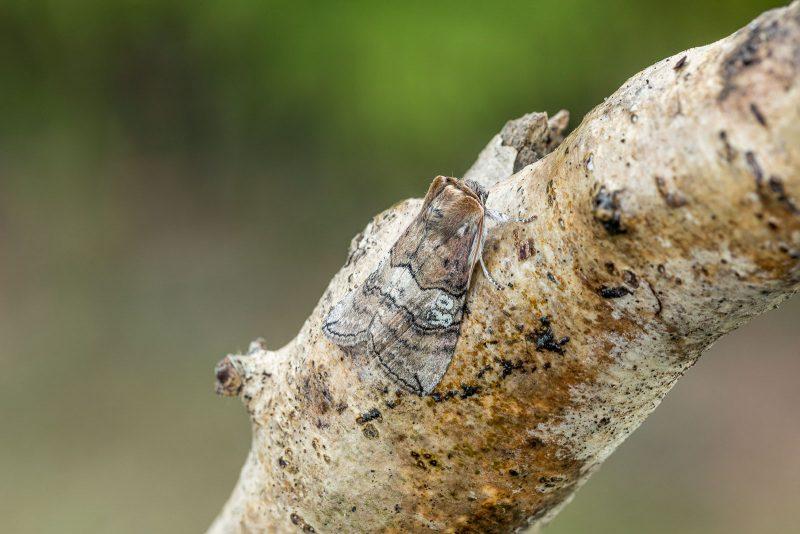 figure of eighty moth