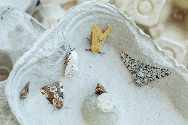 Moths in a moth trap