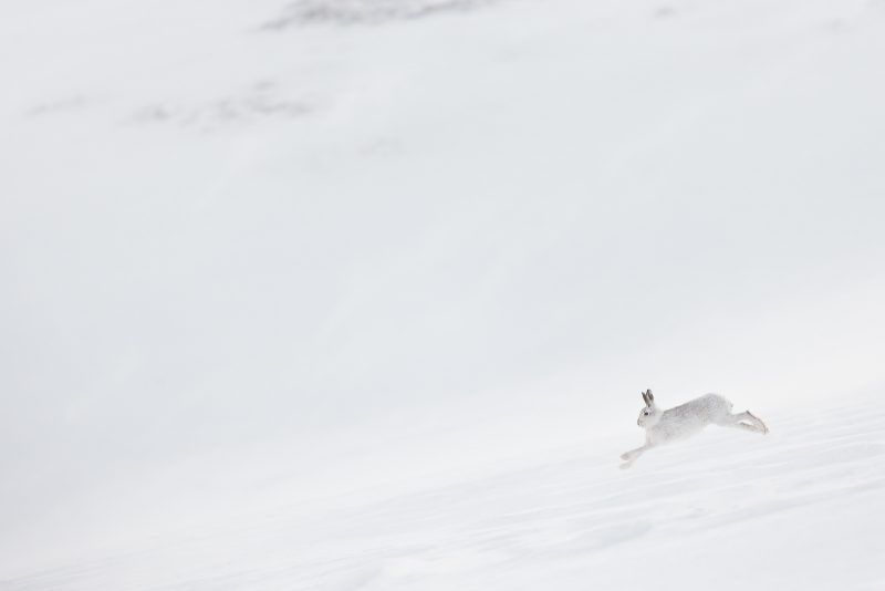 Mountain Hare running through snow