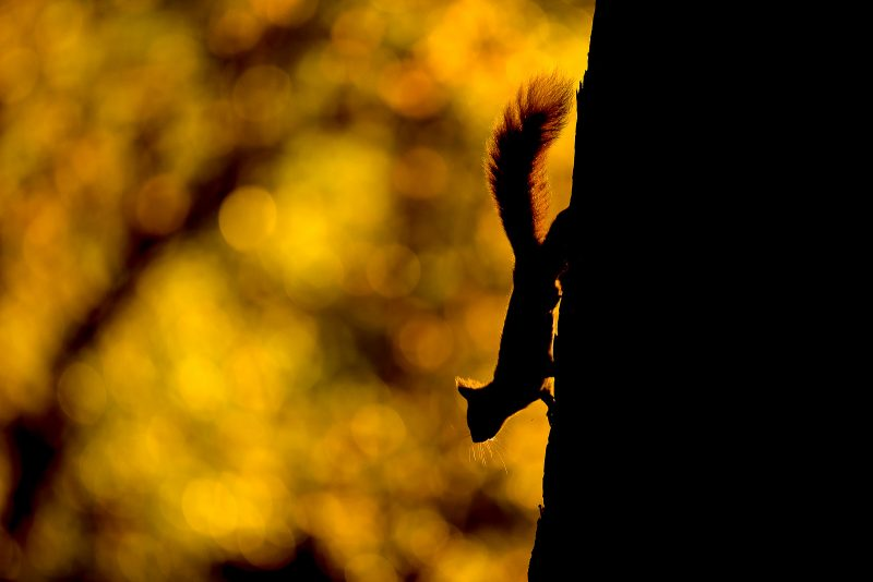 Backlit red squirrel