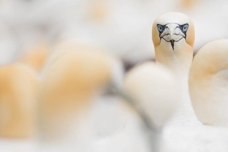 Gannet heads